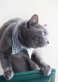 Purr-fectly Polished Pet Collar so your pet can be fancy! Crazy Cat Lady, Crazy Cats, I Love Cats, Cool Cats, Here Kitty Kitty, Cat Collars, Pet Accessories, Fur Babies, Your Pet