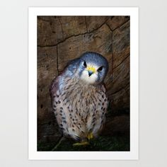 Falco tinnunculus or the common Kestrel Art Print by F Photography and Digital Art - $18.00