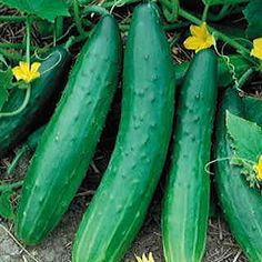 55 days from direct-sowing. Burpless cucumbers with delectable flavor and huge yields are almost unheard-of, but that's what Garden Sweet brings to the table! This vigorous vining plant delivers armloads of the most delicious cukes you will ever eat, all entirely bitter- and burp-free!The fruit reaches 10 to 12 inches long, slender and cylindrical, with faint stripes on the necks and a deep green, smooth, thin skin. Perfect for slicing, Garden Sweet Burpless gives you an extra bite in every…