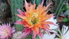 Cactus Seeds, Cactus Art, Cactus Flower, Paper Flowers Craft, Flower Crafts, Cacti And Succulents, Planting Succulents, Carillons Diy, Succulent Display