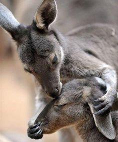 So sweet baby and mama Kangaroo. I love kangaroos:)