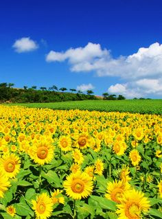 Beautiful sun flower field on a sunny day Beautiful World, Beautiful Gardens, Beautiful Flowers, Beautiful Places, Beautiful Pictures, Beautiful Nature Wallpaper, Beautiful Landscapes, Sunflower Pictures, Sunflower Wallpaper