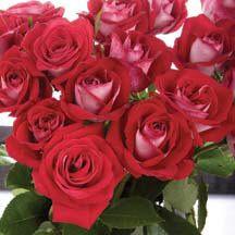 Fire 'N' Ice Floribunda Rose | Floribunda Roses | Edmunds' Roses