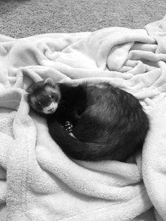 Sweet Febe the ferret ❤️