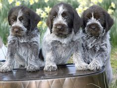 wirehaired pointing griffon puppies | Flickr - Photo Sharing!
