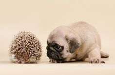 Cute Pug Puppy & Hedgehog