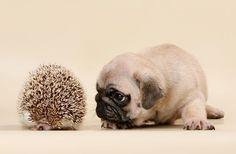 Cute Pug Puppy & Hedgehog