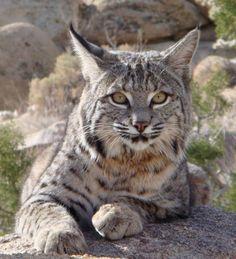 Beautiful bobcat.