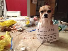 """5 pounds of dog VS 15 pounds of trash = No Contest!  P.S. I ate 5 chocolate muffins too."" Cupcake's first dog shaming photo shoot ~ Dog Shaming shame"