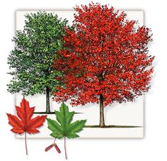 Fannin Autumn Blaze Maple Trees are not the same as other trees found at other Dallas area tree farms and are grown at our Autumn Blaze Maple Tree Farm. Pine Tattoo, Maple Trees Types, Autumn Blaze Maple, Fall Tree Painting, Fall Paintings, Red Maple Tree, Willow Tree Tattoos, Birch Tree Wedding, Baumgarten