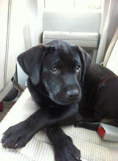 cute black lab puppy face.... by Prettystuff