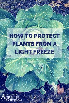 Click the pin to watch a video for tips on protecting cold tender plants from a light freeze.