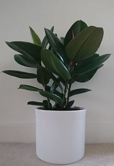 The Rubber Plant, Ficus elastica or Ficus robusta, is a hardy accommodating low maintenance houseplant, it also goes by Rubber Tree or Rubber Fig. Our information will help you to understand how to care for a Rubber Plant correctly. Cactus House Plants, Cactus Decor, Cactus Art, Ficus Elastica, Rubber Plant, Rubber Tree, Monstera Deliciosa, Compost, Tall Indoor Plants