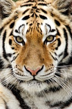 ~~Knowsley Safari Park ~ Tiger by Dave learns his Dig SLR?~~
