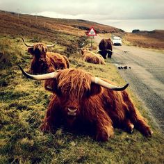 a herd of Highland cattle taking it easy beside a road between Applecross and Shieldaig , Scotland:)