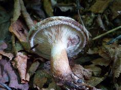 http://faaxaal.forumgratuit.ca/t3761-photo-de-champignon-paxille-enroule-paxillus-involutus-brown-roll-rim-common-roll-rim-poison-paxillus#6781