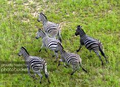 Melanistic Zebra is Black with White stripes. Unusual Animals, Rare Animals, Animals Beautiful, Animals And Pets, Animals Amazing, Strange Animals, Majestic Animals, Melanistic Animals, Plains Zebra