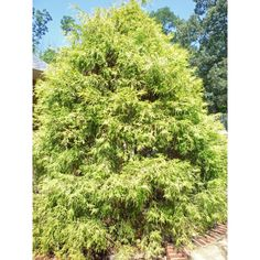 Chamaecyparis Gold Thread False Cypress - slow growing and only reaches 6-7 feet tall; lovely yellow-green color