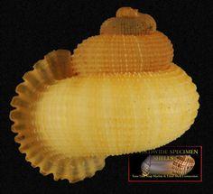 Annularia fimbriatula (Sowerby I, 1825) - Trelawny Parish, Jamaica. 18mm. One of Jamaica's signature terrestrial mollusks. It inhabits limestone forests. Photo: Richard L. Goldberg. © 2013.