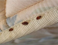 How to get rid of bed bugs? When you visit a place that is already infested with bed bugs, it is lvia How To Clean Furniture, Couch Furniture, Furniture Removal, Furniture Ideas, Furniture Cleaning, Upholstered Furniture, Best Bed Bug Treatment, Bed Bug Interceptor, Twin Bed Couch