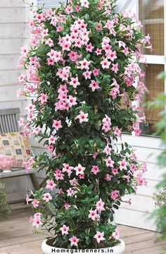 Rock trumpet plant - How to Care Mandevilla Vine plant in your Home and Garden Vine Trellis, Garden Trellis, Exotic Flowers, Beautiful Flowers, Mandevilla Vine, Cherry Plant, Hanging Herbs, Pot Jardin, Flowering Vines