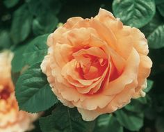 Polka - Large Climber, apricot blend, very full, 1996, rated 7.9 (very good) by ARS.