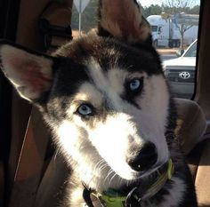 I love this Siberian Husky's look on his face!! ♥