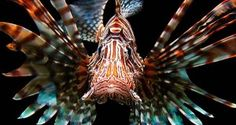 The predatory Red Lionfish is one of a number of similar species widely distributed in the Indo-Pacific. The spines are venomous. Lionfish have recently been released in Florida and the species is now showing up in the Eastern Atlantic and Caribbean. Underwater Creatures, Underwater Life, Underwater Swimming, Underwater Animals, Colorful Fish, Tropical Fish, Fauna Marina, Life Under The Sea, Beautiful Sea Creatures