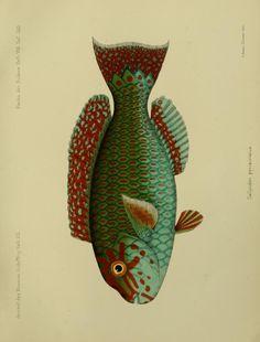 Bd.6, Hft.16,17(1909-1910) - Journal des Museum Godeffroy. - Biodiversity Heritage Library