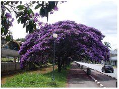 quaresmeira- Árvore  símbolo  de Garopaba SC, cidade  onde moro.