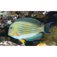 The Clown Tang is an active beautiful species. The Clown Tang is known to be a territorial specie Saltwater Fish Tanks, Saltwater Aquarium, Aquarium Fish, Marine Aquarium, Marine Fish, Marine Tank, Colorful Fish, Tropical Fish, Mandarin Fish