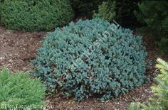 jałowiec łuskowaty 'Blue Star' - Juniperus squamata 'Blue Star' | Katalog roślin - e-katalog roślin