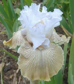 Plant database entry for Tall Bearded Iris (Iris 'Chardonnay and Ice') with 10 images and 29 data details. Brown Flowers, Iris Flowers, Bulb Flowers, Planting Flowers, Beautiful Flowers, Iris Garden, Moon Garden, Iris Eye, Blooming Trees