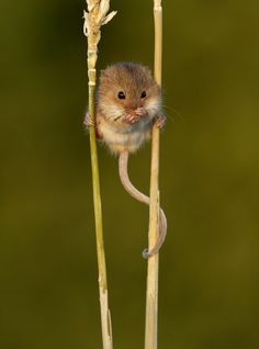 Harvest mouse having a wash on some corn stalks