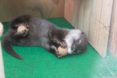 Otter Pup Has One Ball for Each Pair of Paws