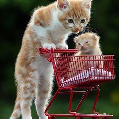 se andavas dentro do carrinho das compras quando eras bebé  Follow: @odonocuida . . #cat #catsofinstagram #cats #catstagram #instacat #catlover #catoftheday #ilovemycat #catlovers #catsagram #lovecats #instagramcats #cats_of_instagram #instacats #cutecat #catlife #ilovecats #catofinstagram #gato #gatos #cutecats #catsofinsta  #petstagram #instapets #cutepets #portugal