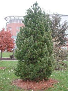 Pine Algonquin Pillar Pinus Cembra