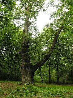 Chêne de Saint-Jean — Wikipédia Saint Jean, Trunks, Plants, Shrubs, Drift Wood, Tree Trunks, Plant, Planets