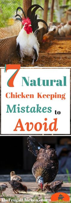 Want to raise your backyard chickens naturally? Here's 7 mistakes smart chicken keepers avoid! 	 #homesteading #chickens #backyardchickens #homestead #farmhouse #farm #farmlife #livestock #agriculture #gardening #gardendesign #gardens #gardenideas #gardeningtips