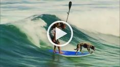 Surfing Dogs Funny Animal Videos, Funny Animal Pictures, Funny Animals, Talking Animals, Summer Dog, Image Cat, Boxer Dogs, Ark, Funny Dogs