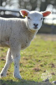A big Texel lamb enjoying the sunshine.