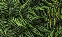 Genetic Gift May Have Turned Ferns Into Masters of Shadow
