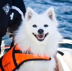 "1,177 likerklikk, 62 kommentarer – FRIENDLY DOG  - LYKKE  🎀 (@lykkethespitz) på Instagram: ""Do you guys like my new profile picture? ☀️💛 hope you're not sick of all my boat photos yet,…"""