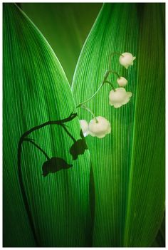 Lily of the Valley by Simon Benedičič on 500px