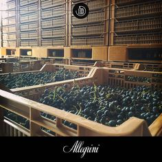 """As the harvest continues, we choose the bunches that will rest in our especially designed """"withering center"""".  It is here that they begin their journey to become Amarone.  We invite you to visit and witness the transformation."""