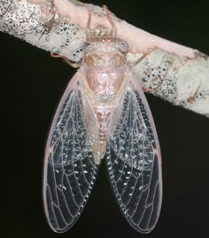 cicada - Cicadetta - This is a teneral cicada (=soft and newly emerged).