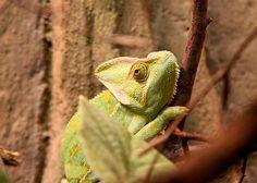 chameleon in the zoo Blijdorp