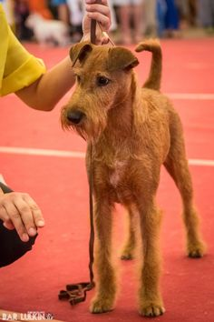 Irish Terrier - Irish terrier in a dog show