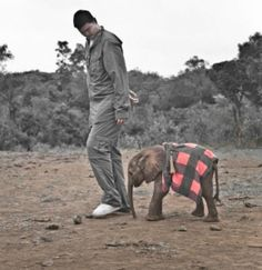 Kinango is one of more than 150 orphaned Elephants that have been fostered at the orphanage since its founding in 1977.  African Elephant named Kinango bonded with retired professional basketball player Yao Ming on the athlete's visit to Daphne Sheldrick's Elephant Orphanage in Kenya