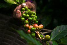 Coffee Guatemala Harvest